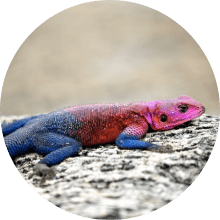 Geckos & Lizards